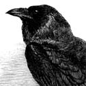 Raven, Edgar Allen Poe, Baltimore, the Baltimore Ravens