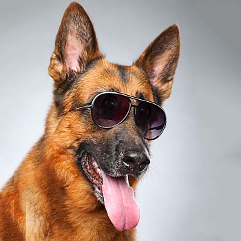 sheep dipping, German Shepard, Sunglasses