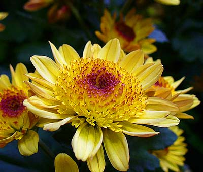 What certain flowers are saying everything after z by dictionary chrysanthemums death mothers day mightylinksfo