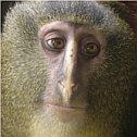 Lesula, Cercopithecus lomamiensis, new monkey
